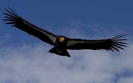 California Condor : Los Padres ForestWatch