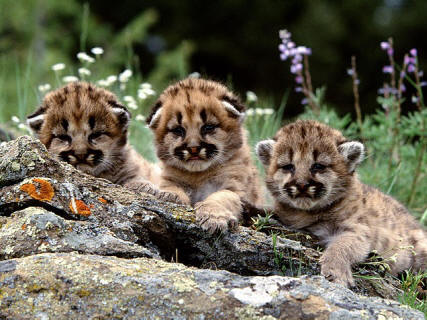 Mountain Lion Cubs Photo by mystic45 | Photobucket